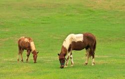 Cavalli che mangiano erba nel campo tropicale Immagine Stock