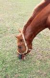 Cavalli che mangiano erba nel pascolo di estate Fotografia Stock