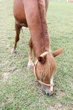 Cavalli che mangiano erba nel pascolo di estate Immagini Stock