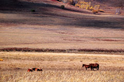 Cavalli che mangiano erba nella prateria di autunno Fotografia Stock Libera da Diritti