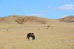Cavalli che mangiano erba nella prateria di autunno Immagine Stock