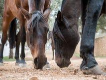 Cavalli che mangiano erba in una stalla Immagine Stock