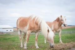 Cavalli che mangiano fieno Fotografia Stock