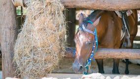 Cavalli che mangiano fieno fresco Fotografie Stock Libere da Diritti