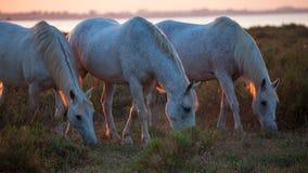 Cavalli che mangiano l'erba Immagini Stock
