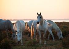 Cavalli che mangiano l'erba fotografia stock
