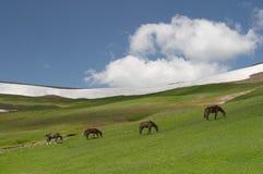 Cavalli che pascono Fotografia Stock Libera da Diritti