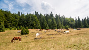 Cavalli che pascono Fotografie Stock