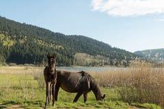 Cavalli che pascono Immagini Stock Libere da Diritti