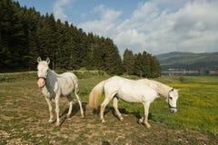 Cavalli che pascono Immagine Stock Libera da Diritti
