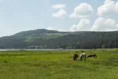 Cavalli che pascono Fotografie Stock Libere da Diritti