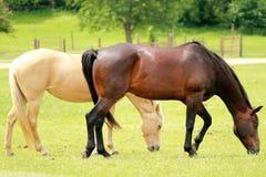 Cavalli che pascono campo fotografia stock libera da diritti