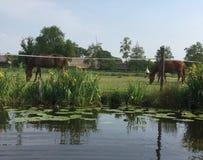 Cavalli che pascono da un canale olandese Fotografia Stock