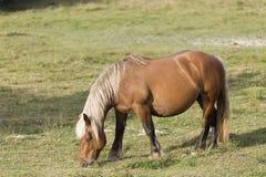 Cavalli che pascono di estate in Navarra Immagine Stock Libera da Diritti