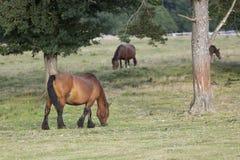 Cavalli che pascono di estate in Navarra Fotografie Stock