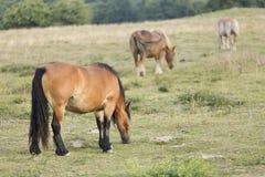Cavalli che pascono di estate in Navarra Immagini Stock Libere da Diritti