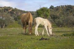 Cavalli che pascono nel campo Fotografie Stock