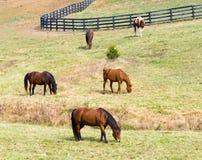 Cavalli che pascono nel campo Fotografia Stock