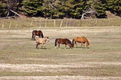 Cavalli che pascono nel campo. Immagini Stock