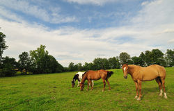 Cavalli che pascono nel campo Immagine Stock