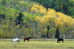 Cavalli che pascono nel grande prato di Teton Fotografia Stock Libera da Diritti