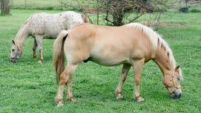 Cavalli che pascono nel pascolo Halflinger, P O a Immagini Stock