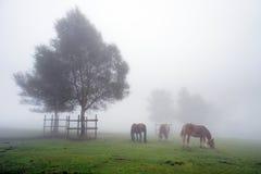 Cavalli che pascono nel prato con nebbia e un albero Fotografie Stock