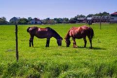 Cavalli che pascono nel prato contro lo sfondo delle case, concetto degli animali domestici nell'ambiente naturale, primo piano, Fotografie Stock Libere da Diritti