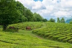 Cavalli che pascono nella piantagione di tè dell'alta montagna Immagini Stock Libere da Diritti