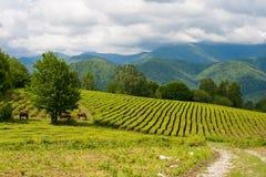 Cavalli che pascono nella piantagione di tè dell'alta montagna Immagine Stock Libera da Diritti
