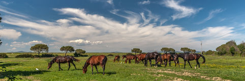 Cavalli che pascono su un prato verde Immagine Stock
