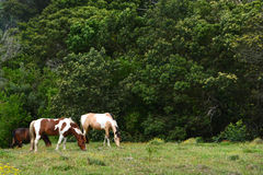 Cavalli che pascono sul pascolo Immagini Stock Libere da Diritti