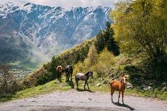 Cavalli che pascono sul pendio di montagna verde in primavera in montagne di Fotografie Stock