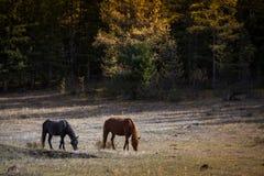 Cavalli che pascono sul prato inglese nelle montagne di Altai, Russia nave Immagini Stock