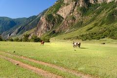 Cavalli che pascono sul prato verde in valle del fiume di Chulyshman alla mattina Repubblica di Altai La Russia Immagini Stock Libere da Diritti