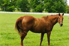 Cavalli che pascono sull'azienda agricola fotografia stock