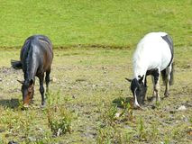 Cavalli che pascono in un campo Fotografia Stock Libera da Diritti