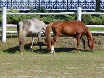 Cavalli che pascono in un pascolo Immagini Stock