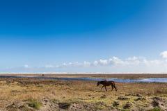 Cavalli che si alimentano vicino alla spiaggia Fotografie Stock