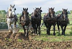 Cavalli che tirano insieme in gruppo fotografia stock libera da diritti
