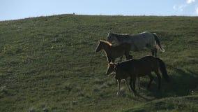 Cavalli con i puledri video d archivio