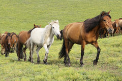 Cavalli correnti Fotografia Stock Libera da Diritti