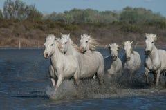 Cavalli correnti Immagini Stock