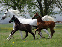 Cavalli correnti Immagine Stock