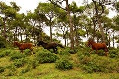 Cavalli correnti Immagini Stock Libere da Diritti