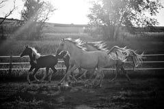 Cavalli correnti al crepuscolo Fotografia Stock