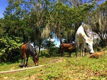 Cavalli creoli che mangiano erba in gregge all'aperto immagine stock