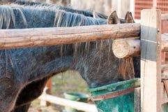 Cavalli cresciuti puri che mangiano avena Immagini Stock Libere da Diritti