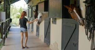 Cavalli d'alimentazione con le carote alla stalla stock footage