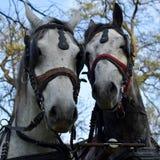 Cavalli da corsa al trotto pronti per la parata, un paio - cavallo e la giumenta fotografia stock libera da diritti